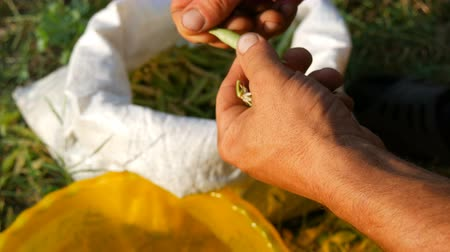 madurez : Hands of a male farmer hold many freshly harvested green pea pods shell peas from pod. Healthy vegetable food from organic agriculture
