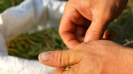 ervilhas : Hands of a male farmer hold many freshly harvested green pea pods shell peas from pod. Healthy vegetable food from organic agriculture