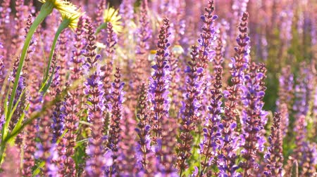 szag : Lavender plant grows in the summer Stock mozgókép