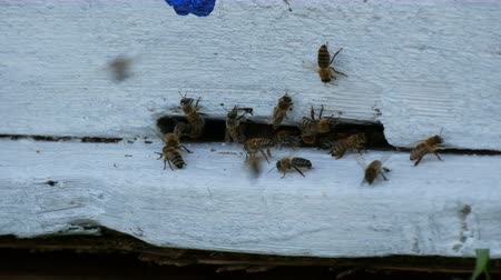 улей : Bees fly out and fly into white the beehive. Bees convert nectar into honey. Concept honey agriculture