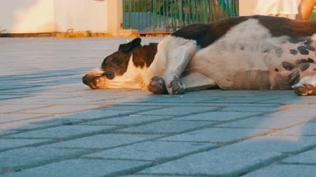 respiração : A large stray street dog sleeps on the street and twitches its muzzle, nose and paws in dream