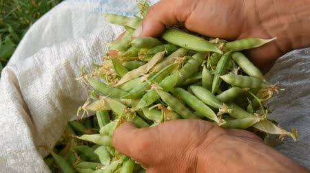 bezelye : Hands of a male farmer hold many freshly harvested green pea pods in a white bag