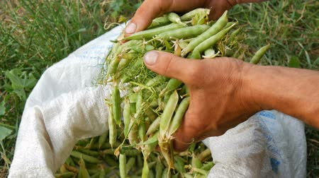 madurez : Hands of a male farmer hold many freshly harvested green pea pods in a white bag