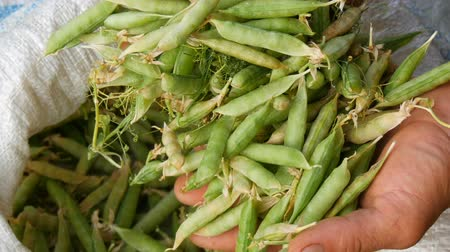 field kitchen : Hands of a male farmer hold many freshly harvested green pea pods in a white bag