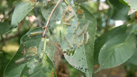 housenka : Many caterpillars on the leaves of a cherry tree. A nest of large white caterpillars eats leaf. Larvae and eggs on the web