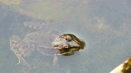 kurbağa : Freshwater frog sitting in water