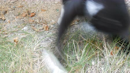 живая природа : Black and white cat plays with real lively gray mouse in the yard on green grass