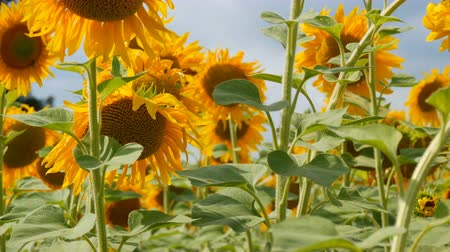 улей : Field of sunflowers in cloudy weather before rain. Clouds over blooming sunflowers in summer. Bees fly on the field Стоковые видеозаписи