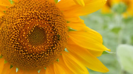 улей : Bee working and gathering pollen from sunflower in field. Field of sunflowers. Sunflower swaying in wind