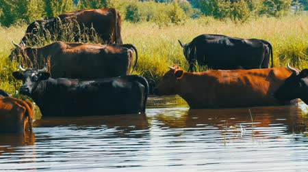 hovězí : A herd of cows drinks water at a watering place in river and grazes in meadow in summer