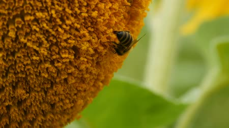 улей : Bee working and gathering pollen from sunflower in field close up. Field of sunflowers. Sunflower swaying in wind Стоковые видеозаписи