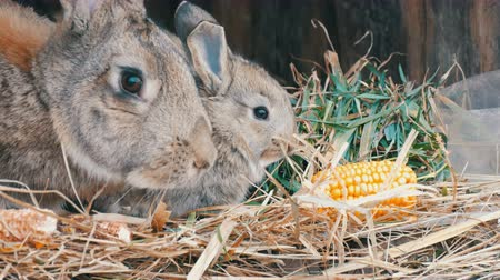 nyuszi : Beautiful funny little young rabbit cubs and their mom eat grass in a cage on farm.