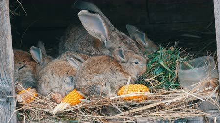 hay barn : Beautiful funny little young rabbit cubs and their mom eat grass in a cage on farm.