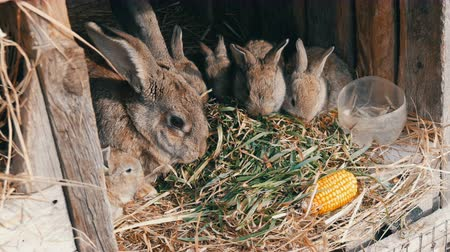 освещенный : Beautiful funny little young rabbit cubs and their mom eat grass in a cage on farm.
