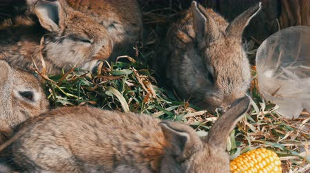 отпрыск : Beautiful funny little young rabbit cubs and their mom eat grass in a cage on farm.