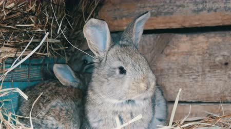 hay barn : Beautiful funny little young rabbit cubs and their mom sleep in a cage on farm. Stock Footage