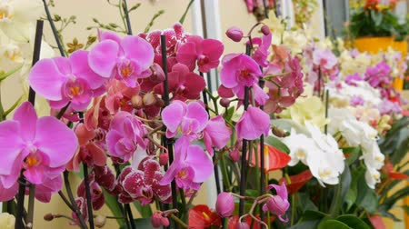 orchideeen : Colorful orchid flowers on exhibition in greenhouse Stockvideo