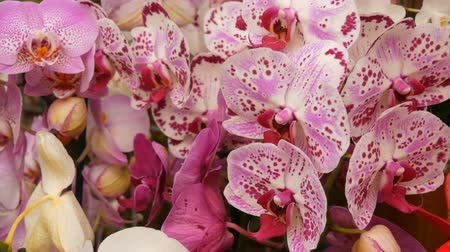 dendrobium : Colorful orchid flowers on exhibition in greenhouse Stock Footage