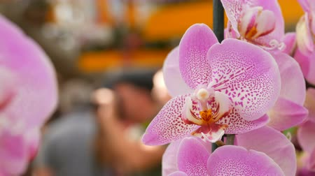 orchideeen : Colorful pink orchid flowers on exhibition in greenhouse Stockvideo