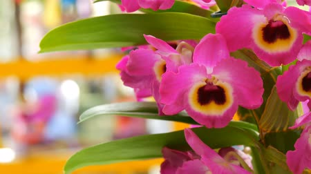 botanik : Colorful pink orchid flowers on exhibition in greenhouse Stok Video