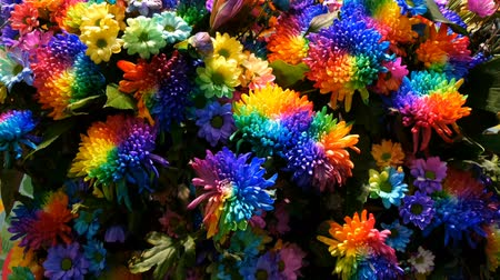 estigma : Beautiful unusual interesting multi-colored rainbow peonies, daisies, roses. Selection of flowers, unusual flower color Vídeos
