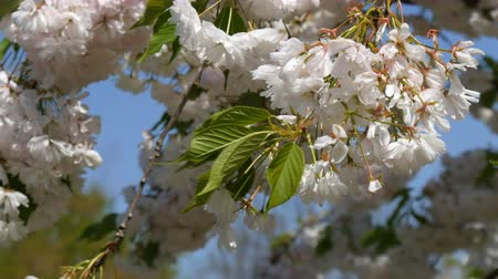 morele : A densely flowering cherry tree in park