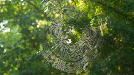 cross spider : Huge round web on a tree in the forest. On it a spider crusader weaved new threads