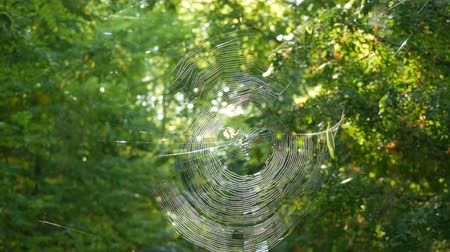 паук : Huge round web on a tree in the forest. On it a spider crusader weaved new threads
