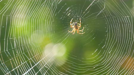 мифический : Brown spider crusader weaves a web on a tree in summer. Web weaving on background of green foliage of trees. Big beautiful round web