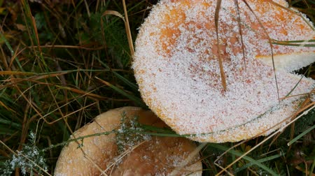 snow on grass : Giant mushroom in the grass on autumn rainy day, covered with the first snow. Harvest of mushrooms in the Carpathian forests