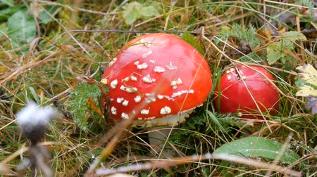 agaric : October harvest of mushrooms. Giant mushroom in the grass in autumn close up view.