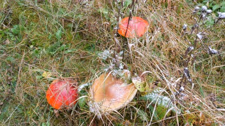snow on grass : Large mushrooms on green grass on which snow falls. Red fly agaric in the Carpathian mountains Stock Footage