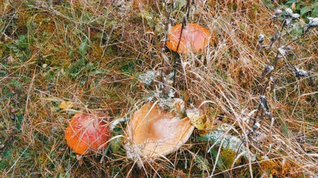 molusco : October autumn mushroom harvest season. From above on top of large number of fly agaric and other mushrooms in the grass in the Carpathian mountains