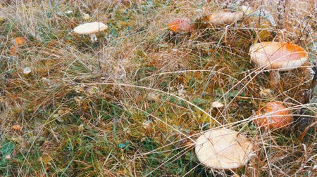 vaudou : Large mushrooms on green grass on which snow falls. Red fly agaric in the Carpathian mountains Vidéos Libres De Droits