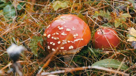 mossy : October harvest of mushrooms. Giant mushroom in the grass in autumn close up view.