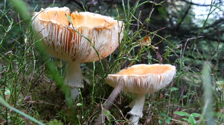 agaric : Large toadstools or edible mushrooms grow in the grass on autumn day.