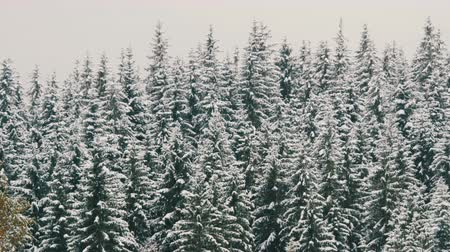 baita : Snow covered pine tops. Carpathian mountains in October, first snow in highlands Filmati Stock