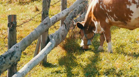 buzağı : Funny red-and-white cow with a large metal bell on the neck grazes, eats grass near homemade wooden fence