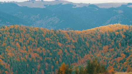 лесное хозяйство : Beautiful multi-colored foliage in the Carpathian mountains in early autumn in October. The natural beauty of some the oldest mountains in the world Стоковые видеозаписи