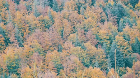 de faia : The natural beauty of one of the oldest mountains in world. Beautiful multi-colored foliage in the Carpathian mountains in early autumn in October.