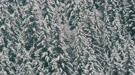 faház : Snow covered pine tops. Carpathian mountains in October, first snow in highlands Stock mozgókép