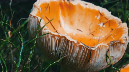 witchcraft : Huge giant mushroom in grass close up view. Autumn October harvest of mushrooms Stock Footage