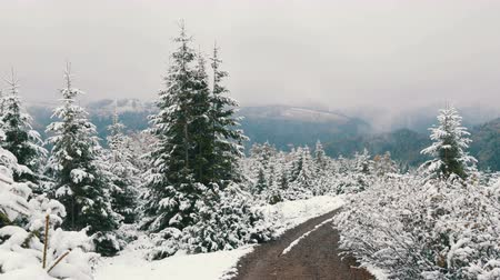 montanhoso : Calm peaceful picture of pines trees in the Carpathians, covered with large layer of the first snow