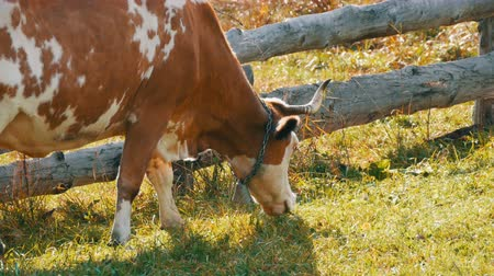 düve : Funny red-and-white cow with a large metal bell on the neck grazes, eats grass near homemade wooden fence