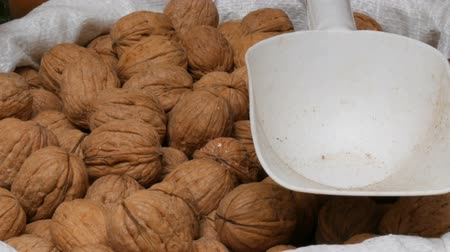 hazelnuts : Large ripe walnuts in white bag on which lies a plastic spatula