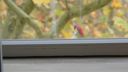 europeu : European green woodpecker or Picus viridis flew by the window of apartment building and funny jumps on windowsill Stock Footage