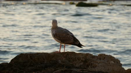 perching : A large sea gull stands on stone by the sea