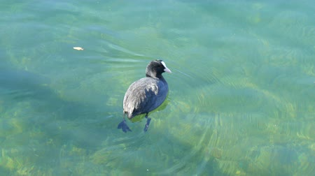 bajor : Funny cute black ducks swim through clear water in mountain lake Tegernsee, Bavaria
