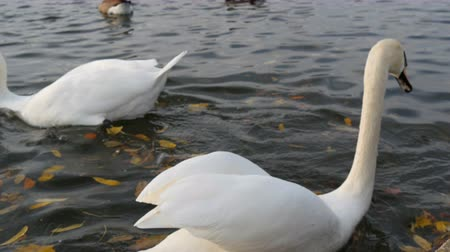 münchen : Beautiful luxurious white swans on pond
