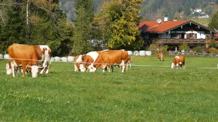 düve : A herd of red-white cows grazing in a meadow in the Bavarian Alps with bell on his neck